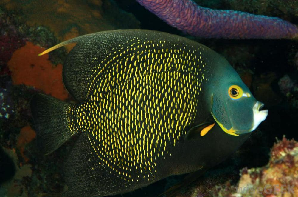 angelfish-aruba