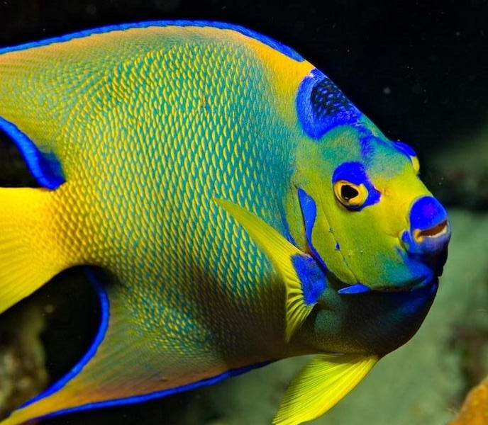 queen-angelfish-aruba